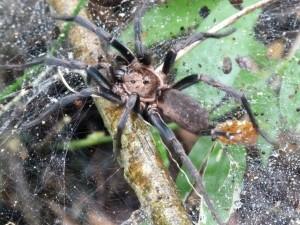 again a tarantula