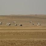 ooievaars in de Bayada woestijn
