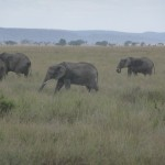 Elephants_at_Serengeti