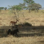 Gazelle_and_baboons_at_Serengeti