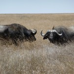 Serengeti buffalo's