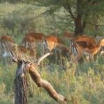 Serengeti gazelle's