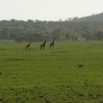 Serengeti girafs