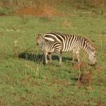 Serengeti zebra's