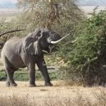 Elephant_ngorongoro_crater