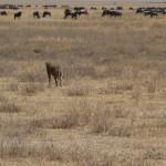 hyena and wildebeests ngorongoro crater