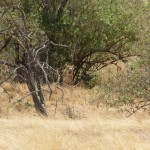 lion ngorongoro crater