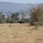 rhino ngorongoro crater