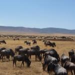wildebeests2 ngorongoro crater