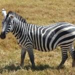 zebra ngorongoro crater