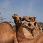 camels again