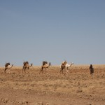 camels carrying water