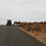 camels crossed the road