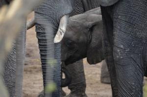 little elephant drinking