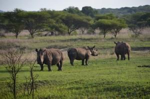 rhino's1