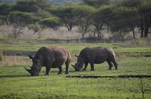 rhino's2