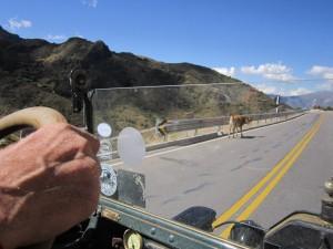 cow ahead
