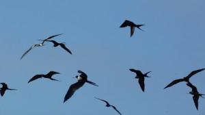 fregat birds