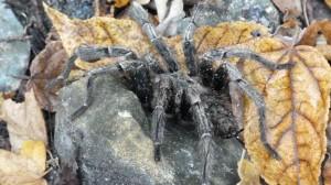 one of the 23 tarantula's