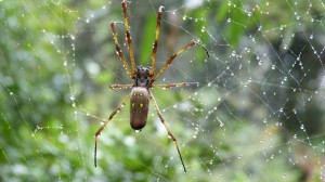 other spider