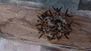 wesp nest