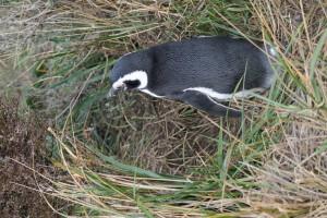 Pinguins4