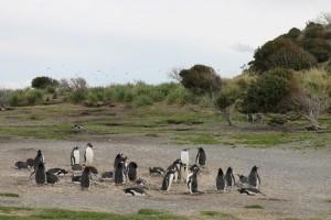 Pinguins6